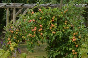 Cover photo for Fruit & Nut Tree Pruning Workshop