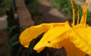 Adult daylily leafminer. Photo: SDF