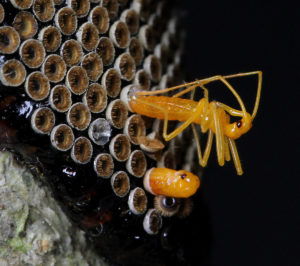 Wheel bug nymphs emerging.