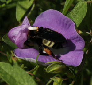 American bumble bee (Bombus pensylvanicus) forages on spurred butterfly pea (Centrosema virginianum) in early August.