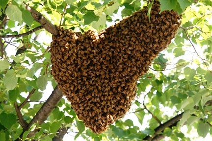Image of a bee swarm