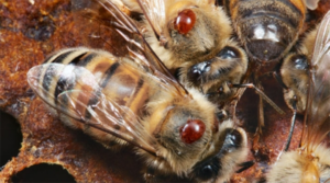 Cover photo for Host-Shifts and Honey Bees: Lessons From COVID-19