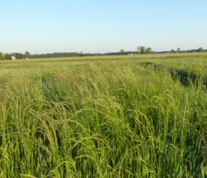 Cover photo for Video: Pre-Emergent Italian Ryegrass Control