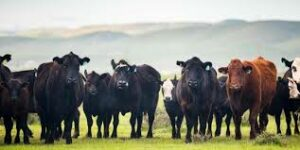 Cover photo for Too Few or Too Many Grazing Animals…? Defining Adequate Stocking Rate