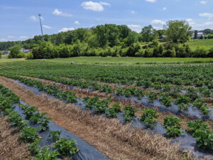 Cover photo for Strawberry Season and Chatham County PYO Farms